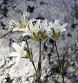 Eremogone congesta var charlestonensis 3.jpg
