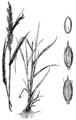 Eriochloa acuminata var acuminata HC-1950.png