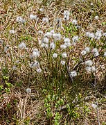 Eriophorum scheuchzeri - Wildseemoor - Kaltenbronn 01.jpg