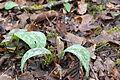 Erythronium dens-canis Chancy 24 03 2014 02.jpg