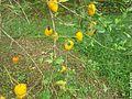 Especies del Banco de Germoplasma UNAH-CURLA 7.jpg
