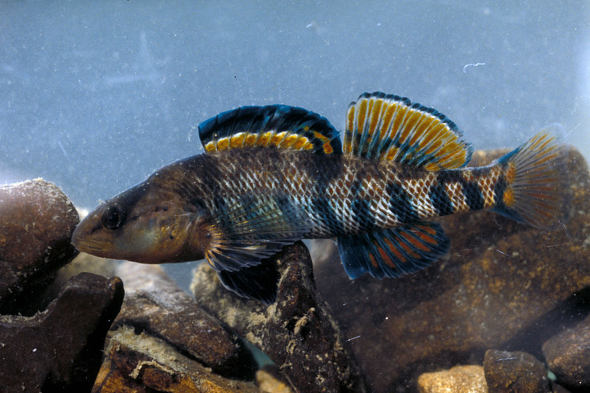 The World's Best Photos of etheostoma and percidae - Flickr Hive Mind