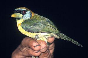 New World barbet - Red-headed barbet (Eubucco bourcierii)