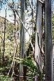 Eucalyptus nitens New England National Park.jpg