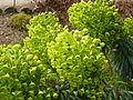 Euphorbia characias subsp. wulfenii in Jardin des Plantes 12.JPG