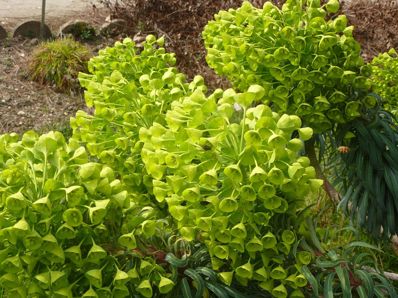 File euphorbia characias subsp wulfenii in jardin des for Jardin des plantes chambery