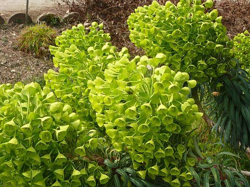 Euphorbia characias subsp. wulfenii in Jardin des Plantes 12