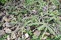 Euphorbia milii 23zz.jpg