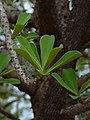 Euphorbia nivulia stem and leaf pattern.jpg