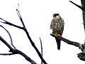 Eurasian Hobby (Falco subbuteo) (6045599673).jpg