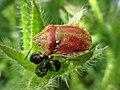 Eurygaster testudinaria (Scutelleridae) - (imago), Doetinchem, the Netherlands - 2.jpg