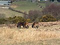 Exmoor Ponies on Anstey Money Common - geograph.org.uk - 73903.jpg