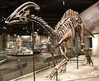 Ornithopoda - Mounted skeleton of Parasaurolophus cyrtocristatus, Field Museum of Natural History