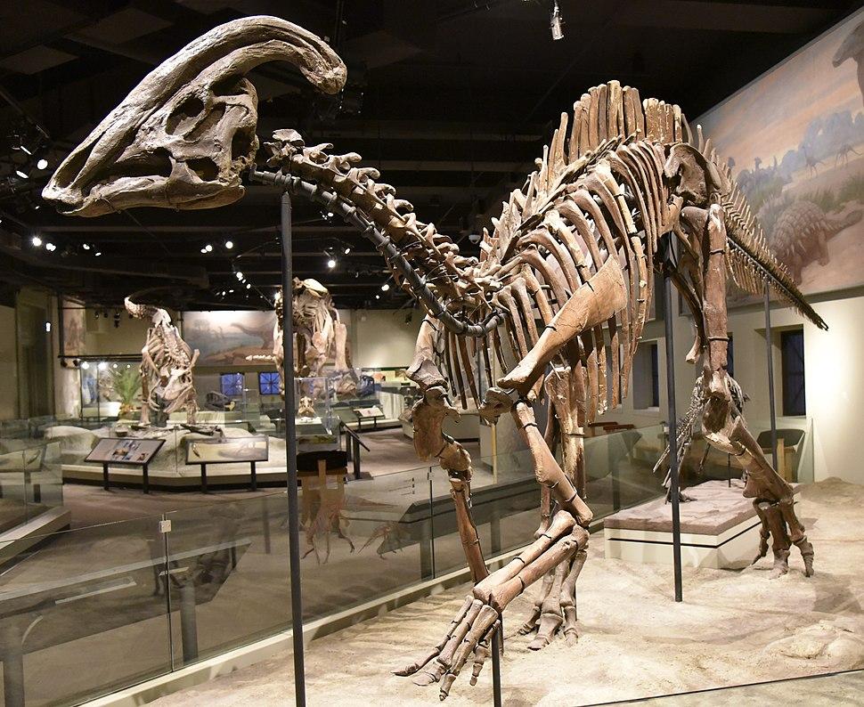FMNH Parasaurolophus fossil
