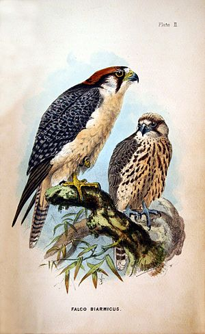 Lanner falcon - Image: Falco biarmicus 01