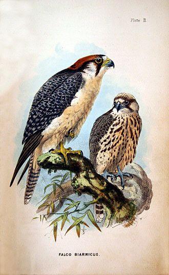 Lanner falcon - Image: Falco biarmicus 01