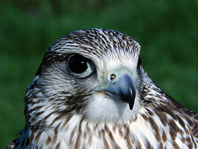 Close-up photography of Falco sp
