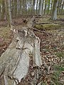 Fallen beech tree, wood on Cote Hill - geograph.org.uk - 785726.jpg