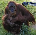 Female Orangutan & Baby PerthZoo SMC Sept 2005.jpg