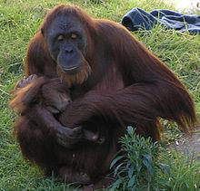 La madre di un piccolo orango