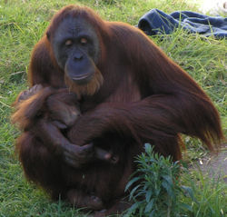 Female Orangutan and baby in Perth Zoo