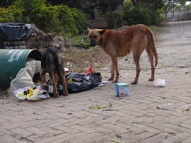 Female and adolescent Indogs rummaging through a garbage bin for food. 02
