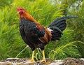 Feral rooster on Kauaʻi.jpg