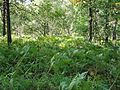 Fern thickets in Kalmash deciduous wood - panoramio.jpg
