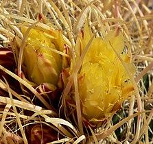 Ferocactus cylindraceus 14.jpg