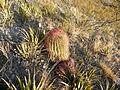 Ferocactus pilosus (5700331078).jpg