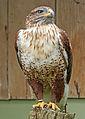 Ferruginous hawk at African Lion Safari (14820376486).jpg