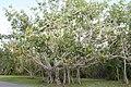 Ficus benghalensis 5zz.jpg