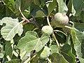 Ficus carica. Figal.jpg