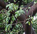 Ficus craterostoma, loof, Tuks.jpg