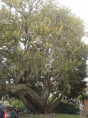 Town hall of Bordighera - Image: Ficus macrophylla vicino alla Spianata del Capo a Bordighera