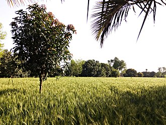 Muzaffargarh District - Field in Muzaffargarh