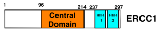 ERCC1 - Diagram of ERCC1 showing a central domain and a helix-hairpin-helix domain