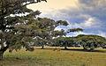 Figueiras (Ficus organensis) 3.jpg