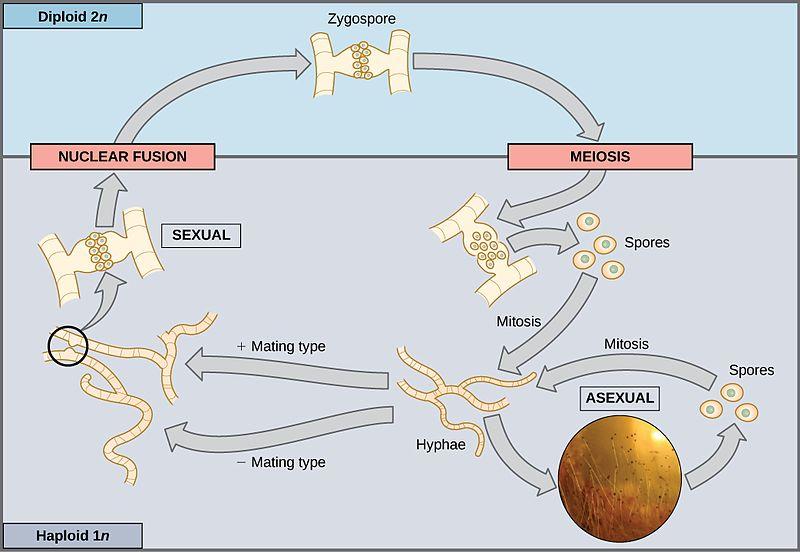 Gambar siklus reproduksi Jamur / Fungi