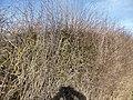Flail-cut hedge (geograph 4376804).jpg