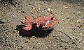 Flamboyant Cuttlefish (Metasepia pfefferi) (6059851762).jpg
