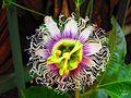 Fleur du fruit de la passion.jpg