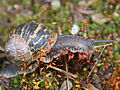 Flickr - Michael Gwyther-Jones - Garden Snail (1).jpg