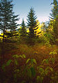 Flickr - Nicholas T - Boreal Conifer Bog.jpg