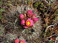 Flickr - brewbooks - Pediocactus simpsonii (13).jpg