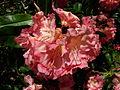 Flickr - brewbooks - Rhododendron - John M's Garden (1).jpg