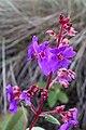 Flor roxa no Ibitipoca (2506).jpg