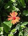 Flores de Guaramiranga CE - Red.jpg