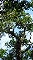 Floresta da Serra do Japi. - panoramio.jpg