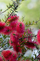 Flower, Bottlebrush - Flickr - nekonomania (1).jpg